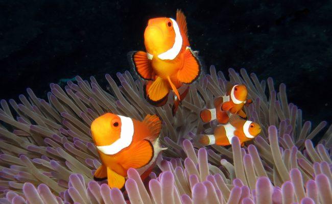 Dive Sites Bali Menjangan Anemofish UJ